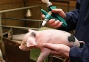 Svineproducenter vil halvere brugen af problematisk antibiotika