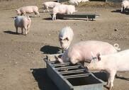 Udlandet kræver dansk øko-svinekød