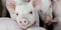 Medie: Skoler må ikke besøge svin