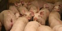 Svinekød ender som dyremad
