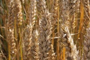 Hvilket korndyrkningssystem er bedst for miljøet?