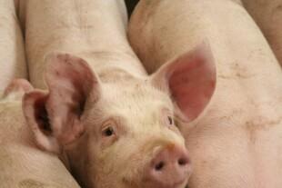 Tilskud til landbruget sætter gang i byggeriet af svinestalde