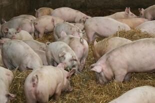 Få bliver syge og dør af husdyr-MRSA