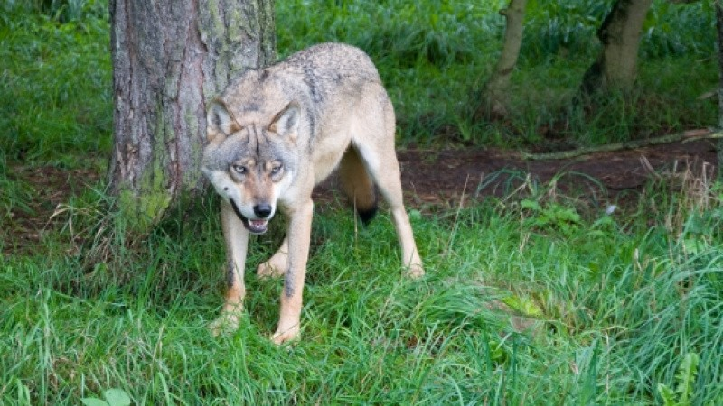 Miljø- og fødevareminister inviterer til borgermøde om ulve
