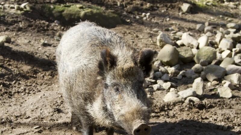 Jæger: Vi har brug for vildsvin i Danmark