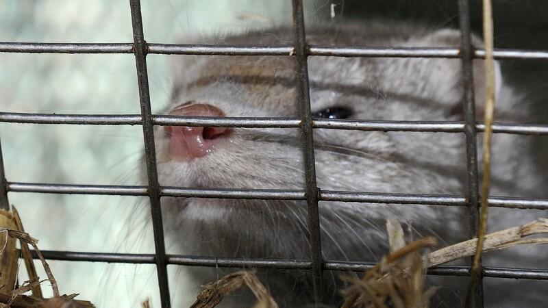 Minksygdom hærger omkring Holstebro