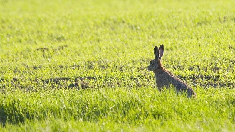 Pas på med skårlæggeren: Flere harer på markerne