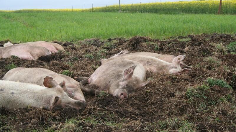 Øget efterspørgsel på dyrevelfærd giver tomme kølediske
