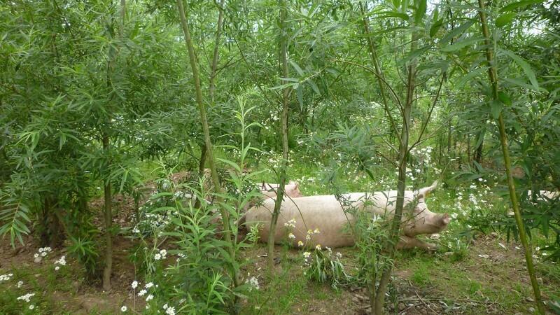Ny bekendtgørelse kan gavne økologiske svin og fjerkræ