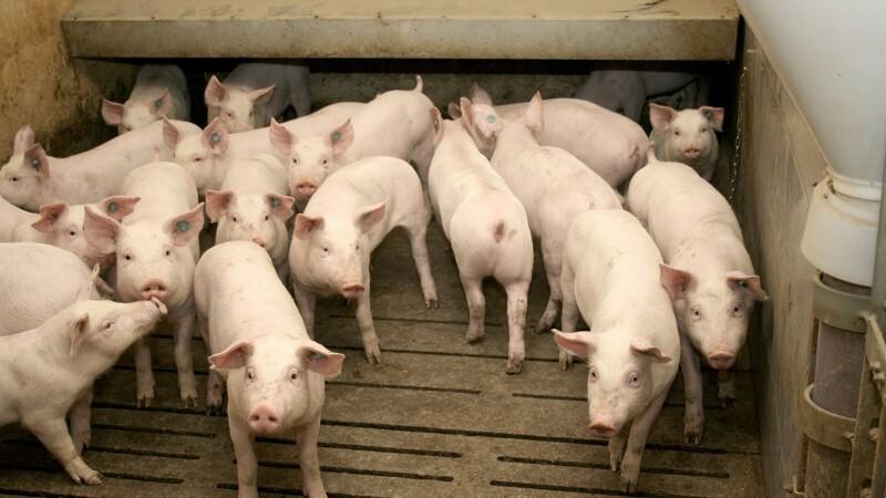 Udpluk af udfordringer på grisens vej