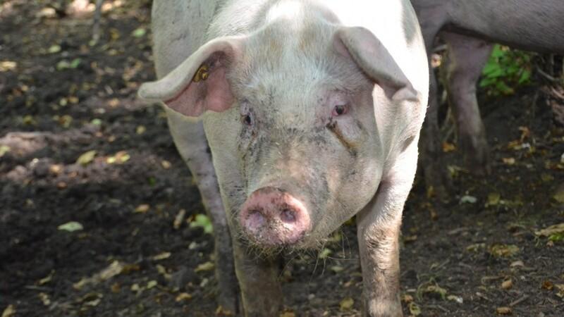 Økologiske svineproducenter stormer frem