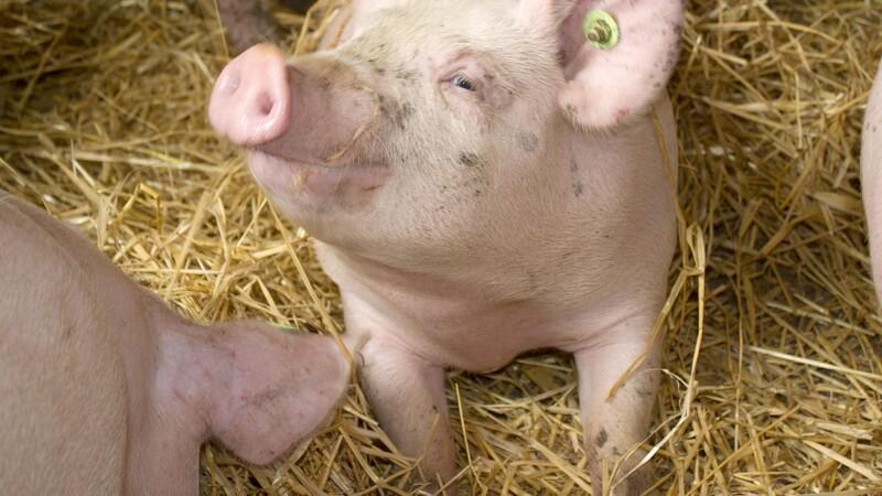 Wiking Meat lander stor kontrakt med Lidl
