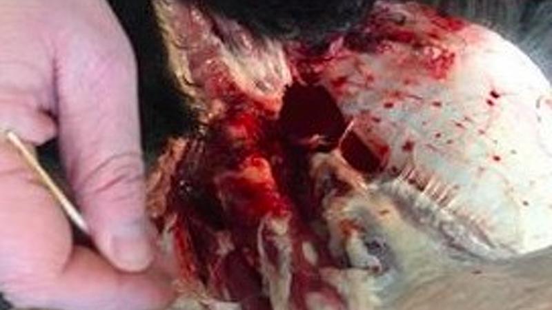 Endnu et angreb på får ved Holstebro