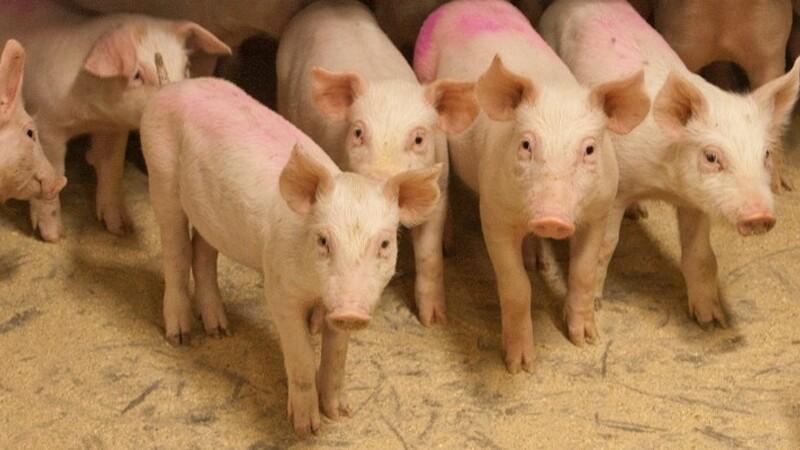 BL bakker op om svineproducenters kampagne