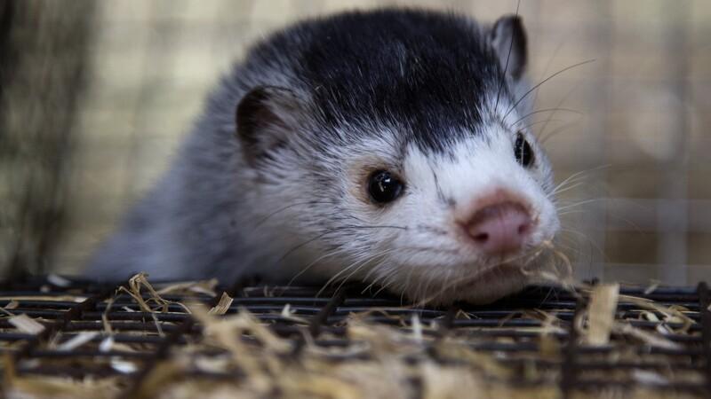 Minkbranchen trues af EU-forbud