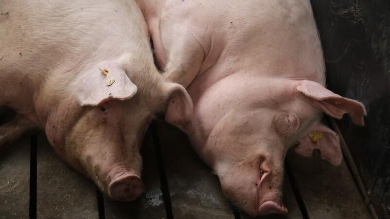 Produktionsformen har betydning for sygdomsfund på svineslagteriet