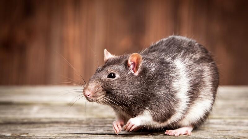 Flere muligheder for at bekæmpe rotter
