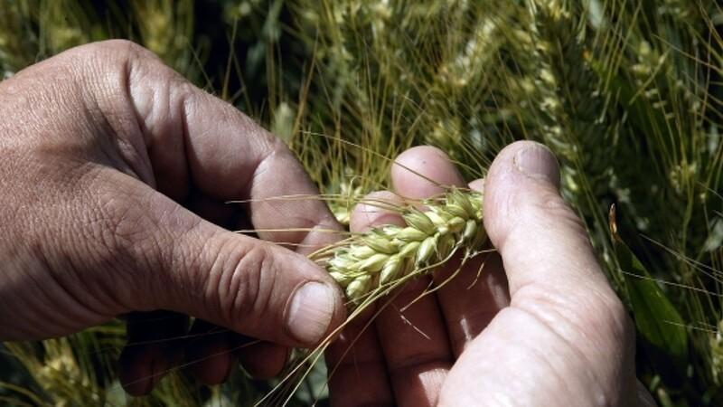 Verden kan (måske) brødfødes af økologi