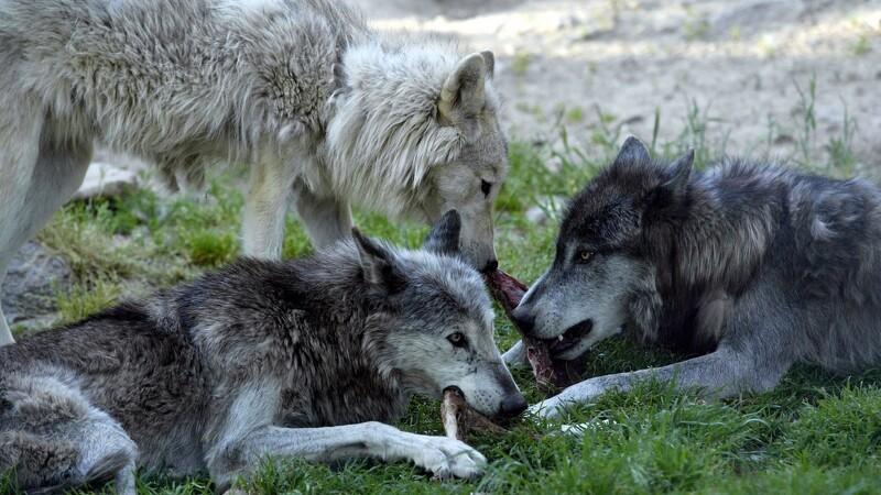 Kameraer skal overvåge ulvesikrede hegn i Vestjylland
