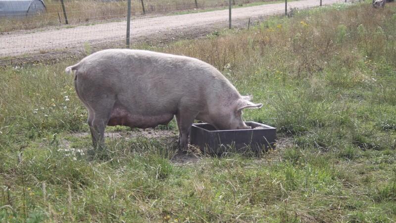 Ikke-økologisk foder til øko-svin fortsat tilladt