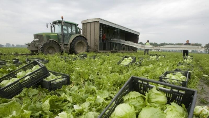 Grøntsagsproduktion lider under fosforbegrænsning