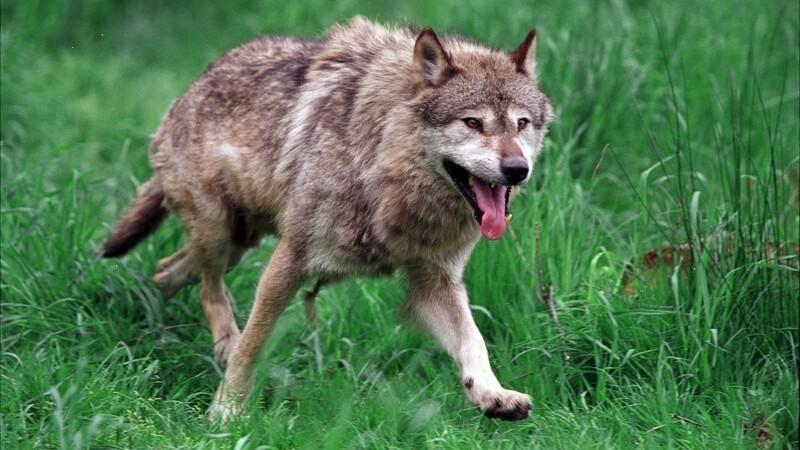 Ulve skal overvåges med GPS
