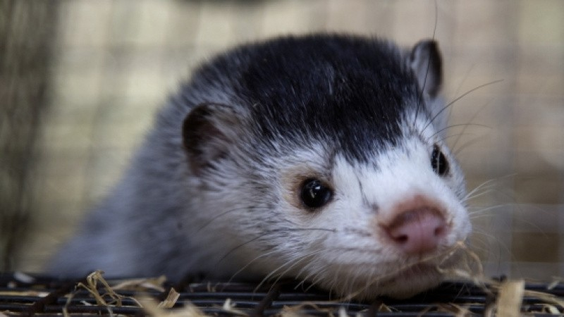 Norsk regering sætter stopper for pelsdyr
