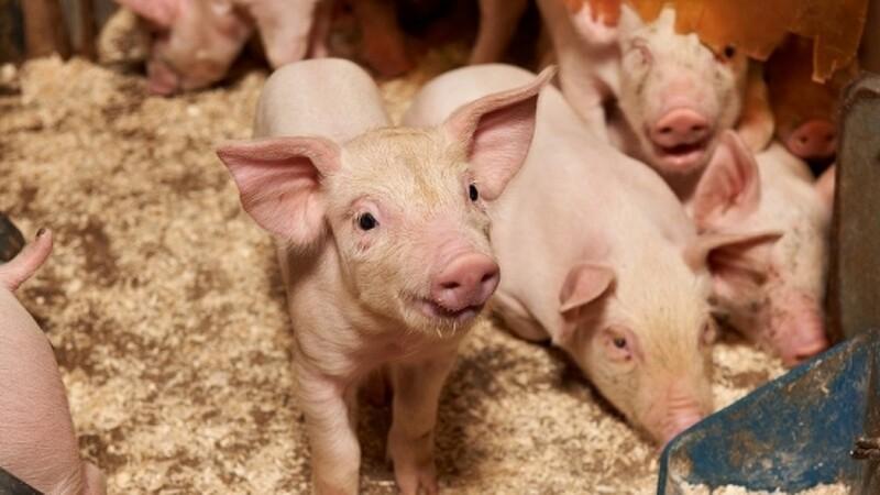 Svineproducenter skal på hygiejnekursus