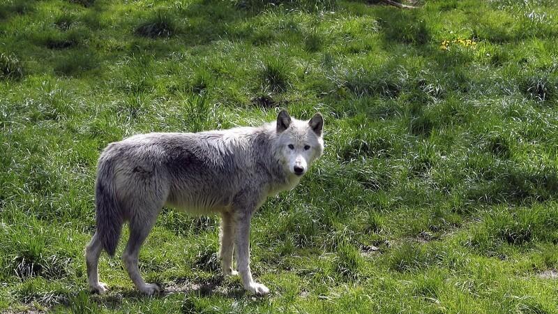 Ulven er kommet til Skagen