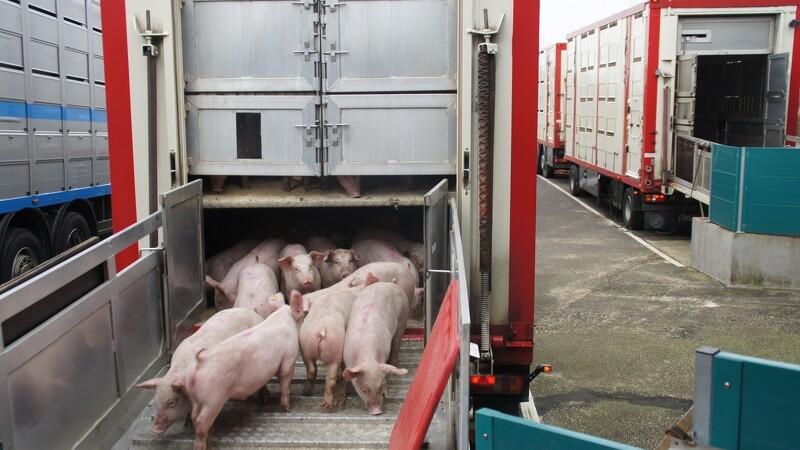 Nyt samarbejde om svinetransport