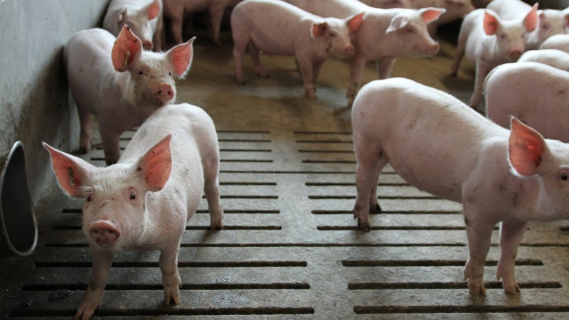 Nyt biologisk produkt skal give sundere grise