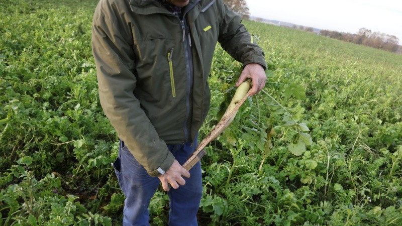 Landmænd står i kø for at dyrke efterafgrøder