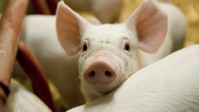 Storkonflikt kan ramme griseproducenter
