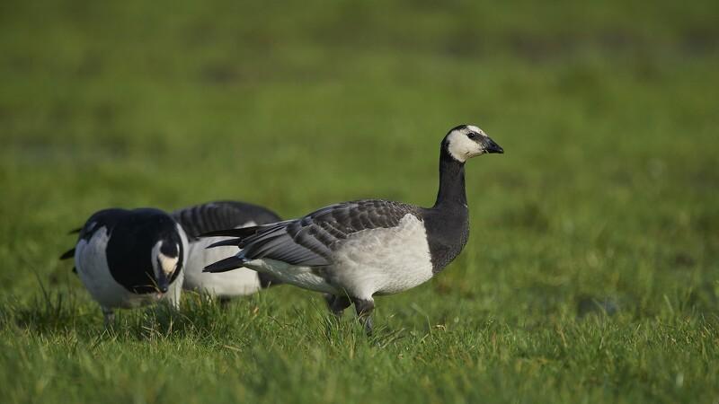 Fødevarestyrelsen finder flere fugle med influenza