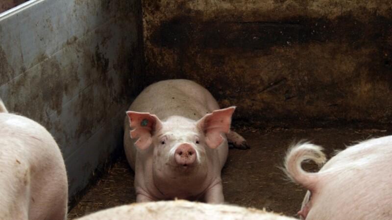 Svinepriser er uændrede