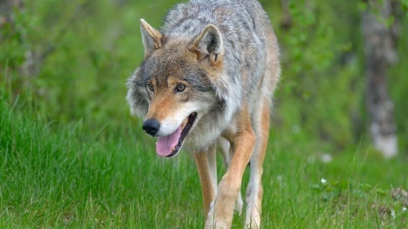 Flere bryder loven for at lede efter ulven