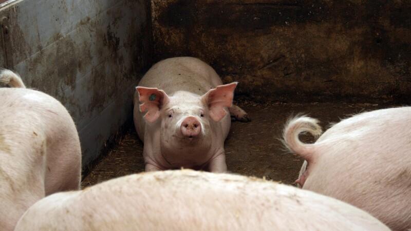 Svinepriser er atter uændrede