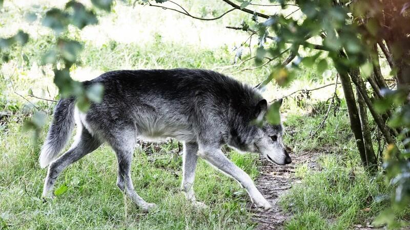 Danske ulvehvalpe tog til Tyskland - en kørt ihjel