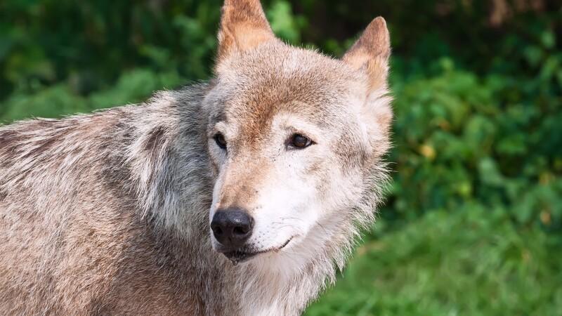 Forskere hører rygter om flere ulvedrab
