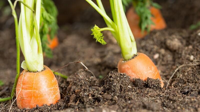 Vejret koster gulerodsavler millioner