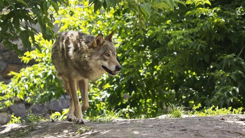 Regering klar med ulveplan