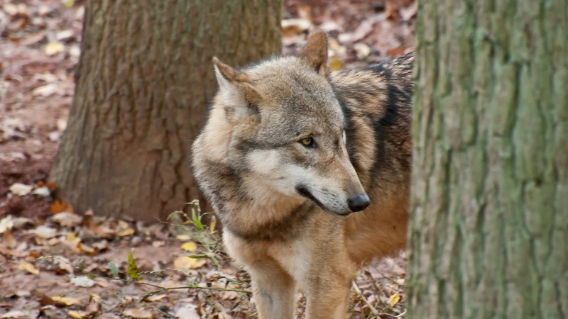 Sverige vil indføre jagtforbud på ulve