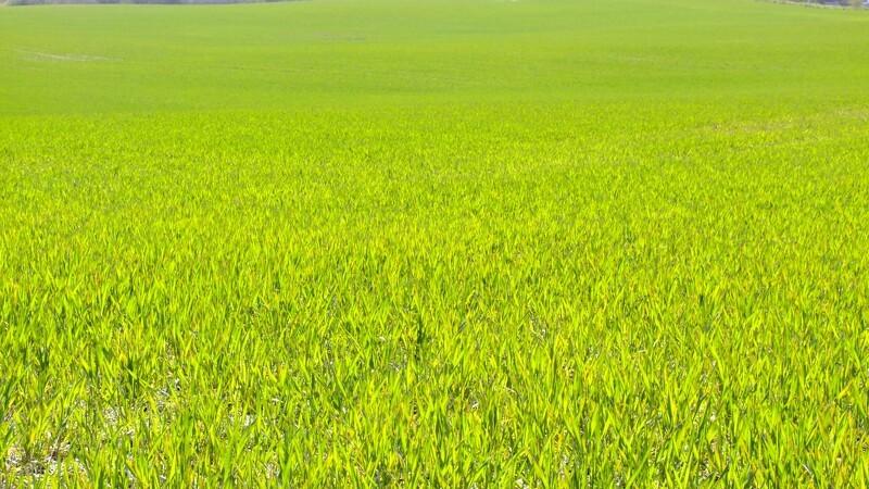 Regnfuldt efterår sender vinterafgrøderne til tælling