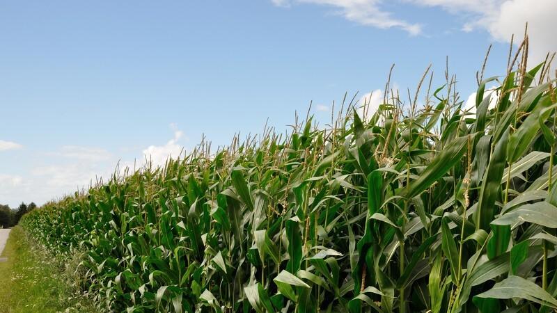 Visne afgrøder genopstår ikke