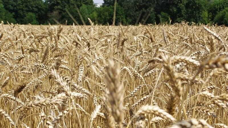 Overgaard modtager meget korn
