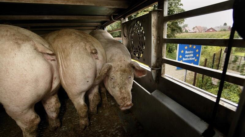 Politikere ønsker skrappere kontrol med dyretransporter