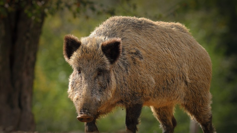 Miljøstyrelsen vender tomlen op for vildsvinehegn