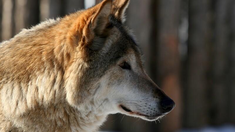 10 vilde ulve skal have gps-halsbånd