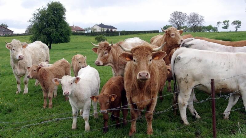 EU giver Danmark en ny kvægundtagelse