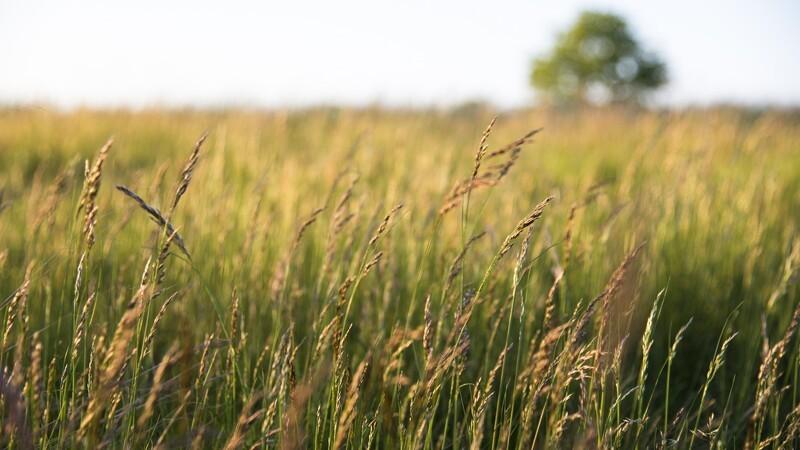 Forskere vil vaccinere korn